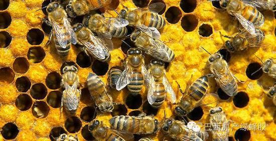 巴西绿蜂胶:有多少考验,就有多少赞美!