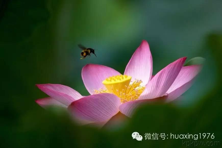 当你被蜜蜂蛰了,别去怪它