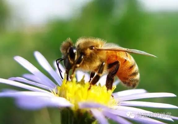 养蜂人应该知道的养蜂知识|蜜蜂蜇人了怎么处理?