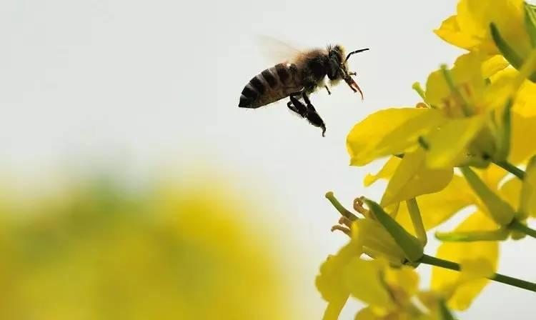 蜜蜂 蜜蜂养殖 蜂疗