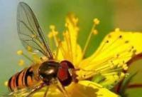蜂胶造假来龙去脉:国产八成蜂胶可能是杨树胶