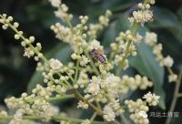 来自南方最好的蜜——龙眼蜜