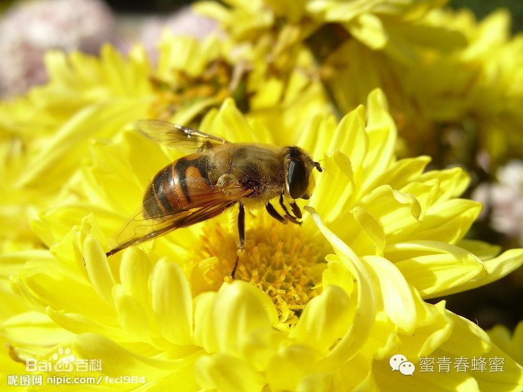 蜂产品到底如何增强人体免疫功能