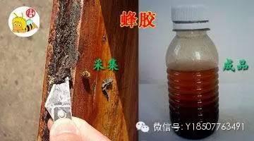 蜂胶——蜜蜂的祖传秘方!
