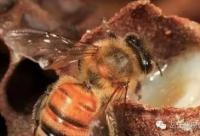 蜂王为啥能活那么久?