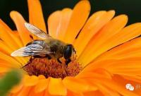 蜜蜂--辛劳的搬运工