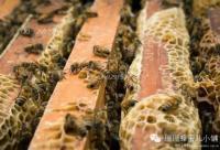 蜂针防治风湿、类风湿性关节炎!