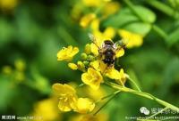 蜜蜂白垩病的防治