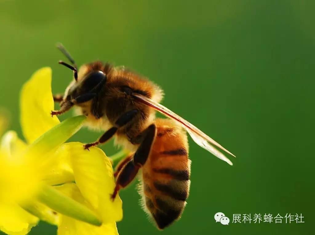 珍珠粉加蜂蜜的作用 荆花蜂蜜 花茶 蜂蜜美容 蜂蜜白醋减肥法