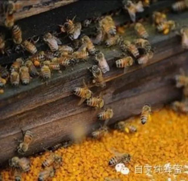 油菜花粉的功效和作用