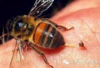 蜂毒的作用有多大