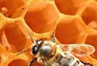 蜜蜂简介 (二)