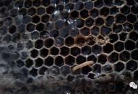 老蜂巢—咽炎鼻炎的克星