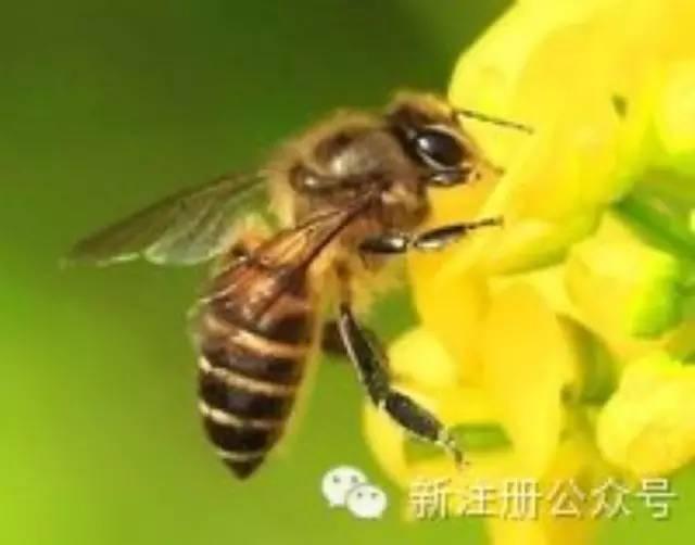 蜂花粉的威力惊人
