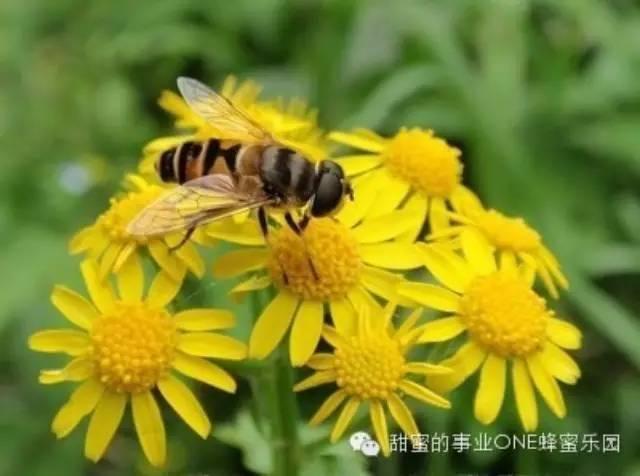 纯正的蜂蜜多少钱一斤 蜂蜜怎样做面膜 喝蜂蜜 葱 蜂蜜杏仁