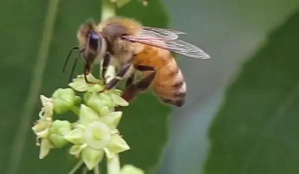 生姜减肥法 蜂蜜结晶了怎么恢复 蜂王浆 自制蜂蜜美白祛斑面膜 十二指肠溃疡