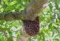 蜜蜂的倾诉:真与假的博弈 何时了!!