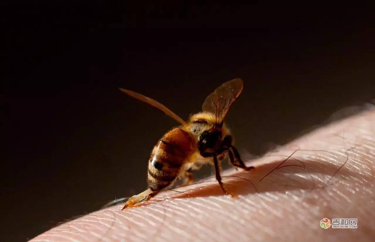中蜂 分布 蜂蜜粉 生姜蜂蜜水的作用 蜂蜜红茶
