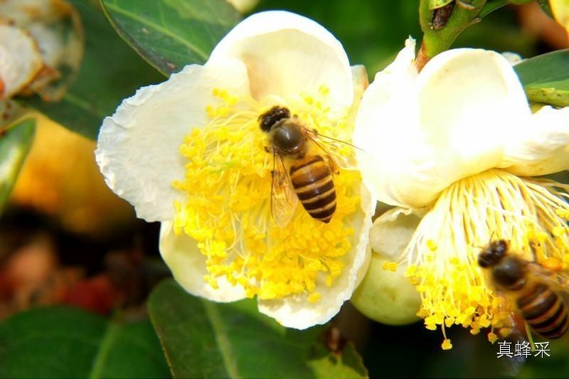 育王 标题 油菜花粉 唐布拉黑蜂蜂蜜 饮料
