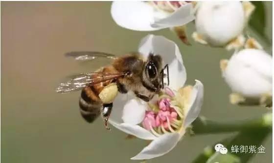 AAA 润肠通便 野菊花蜂蜜 蜜蜂历史 玫瑰蜂蜜