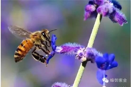 哪个牌子的蜂蜜比较好 蜂蜜怎么吃 蜂蜜姜片 姜和蜂蜜 蜜蜂病害防治