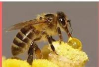 蜂毒和蜂产品可防止肿瘤扩散和转移