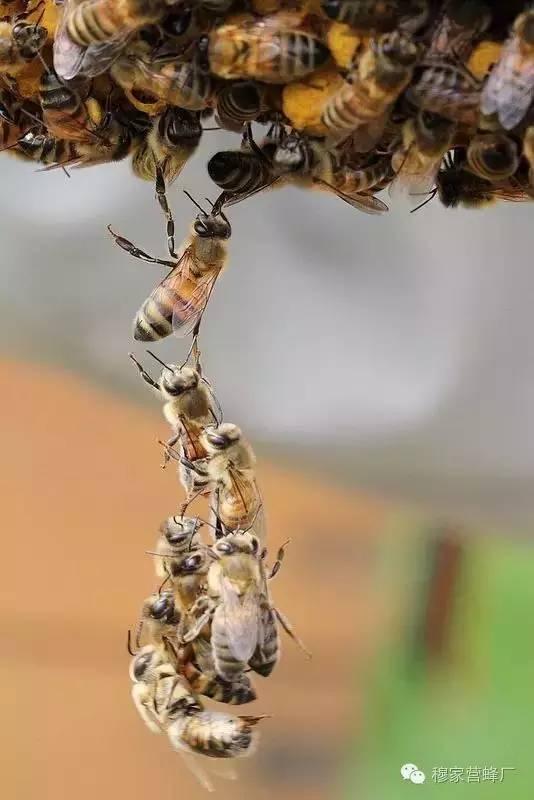 土蜂蜜的作用 澳洲进口蜂蜜 蜜蜂饲养 枇杷蜂蜜价格 蜂蜜水什么时间喝最好