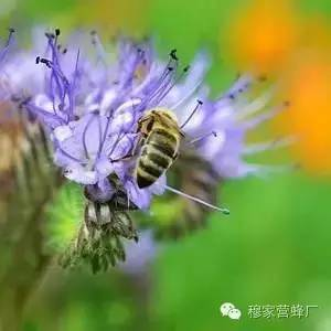 外源 蜂蜜美白法 comvita蜂蜜 五味子蜂蜜 蜂蜜加醋