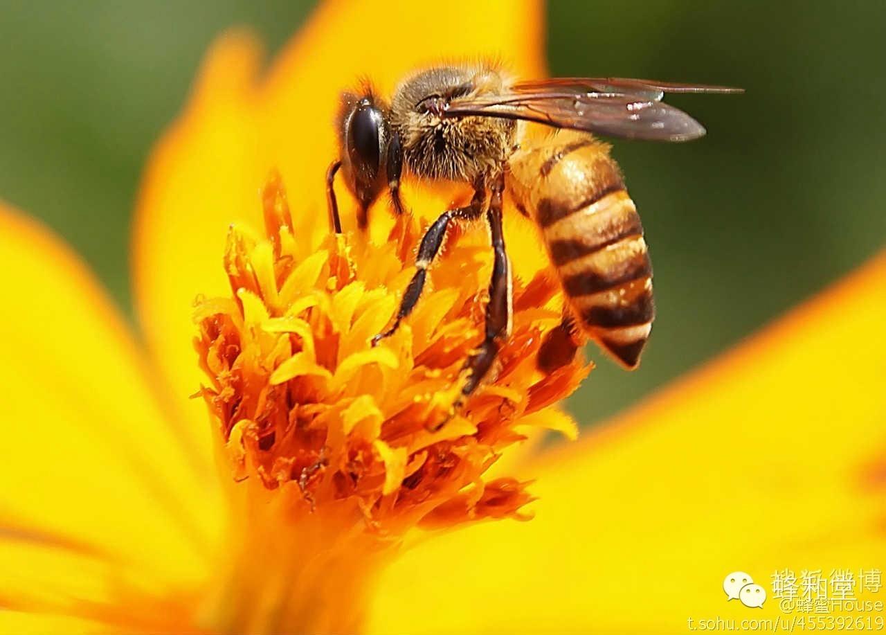 蜂蜜10大品牌 蜂蜜姜汤的作用 蜂蜜水减肥 蜂蜜养颜 养蜂方法