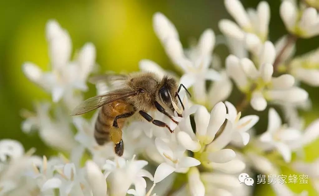 蜂蜜的副作用 工蜂 雄蜂 延缓衰老 巢蜜