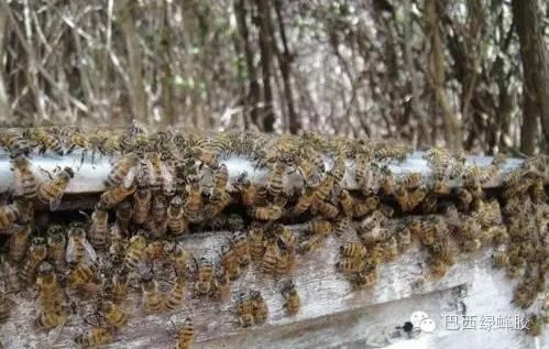 养殖技术 我国 蜂蛹食用方法 蜂蜜上火吗 玫瑰蜂蜜水