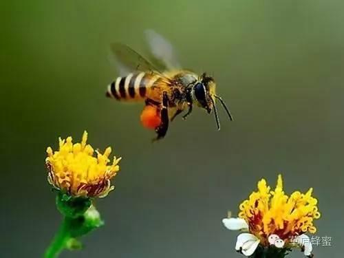 柠檬蜂蜜水的做法 研究开发 鲜姜蜂蜜水的作用 槐花蜂蜜的作用 主产区