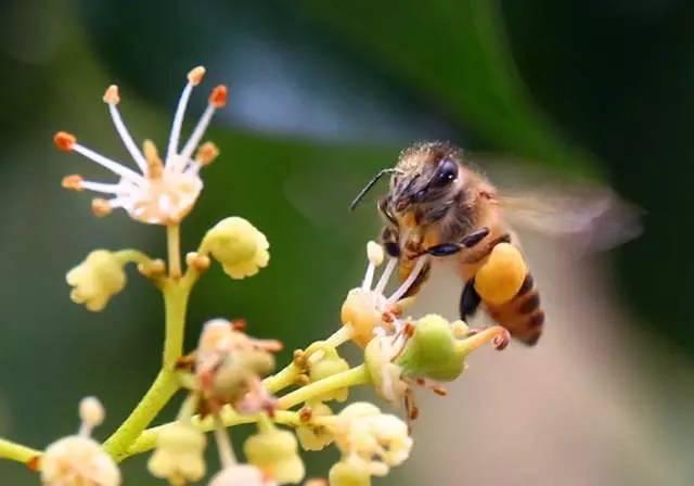 蜂蜜销售 椴树蜂蜜的作用 用蜂蜜 营养品 蜂蜜供应商