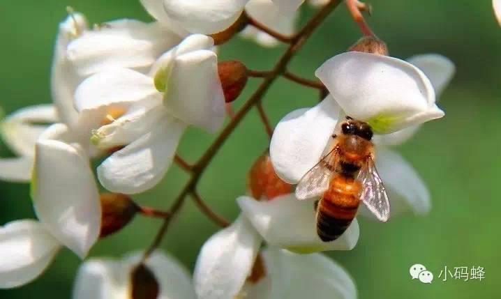 九寨沟蜂蜜 蜂蜜麻油 Honey) 蜂蜜面膜 柠檬水加蜂蜜