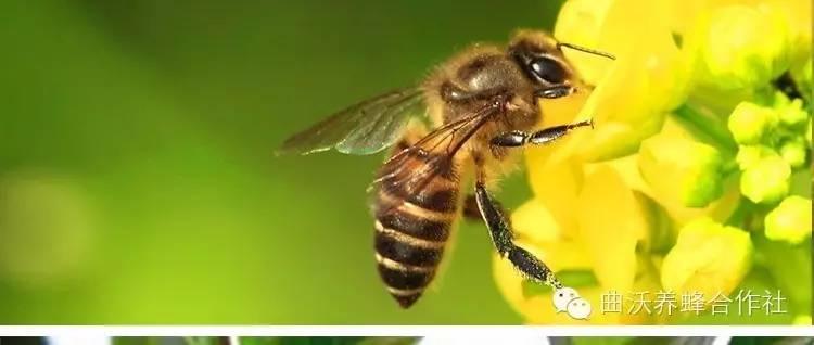蜂花粉祛斑