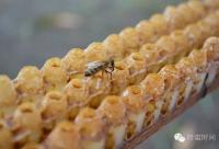 蜂王浆的药理作用显著,不比人参差!