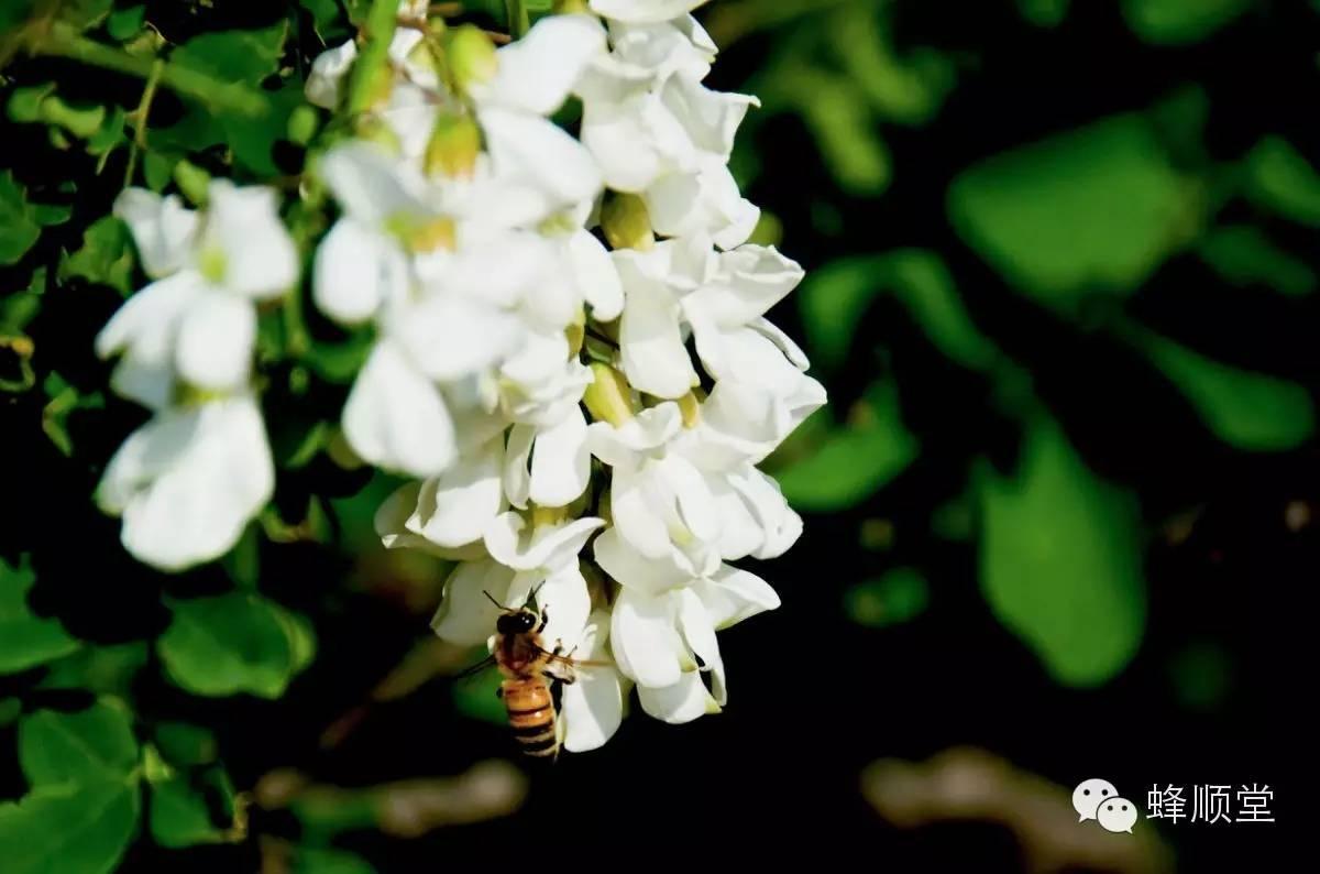 哪里能买到真蜂蜜 蜂蜜柠檬水的功效 蜂蜜什么品牌好 蜜蜂品种 各种蜂蜜
