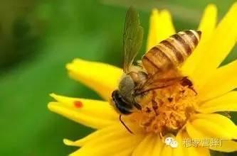 怎样喝蜂蜜 AAA 蜂蜜酒 蜜源植物 蜂皇浆的作用与功效