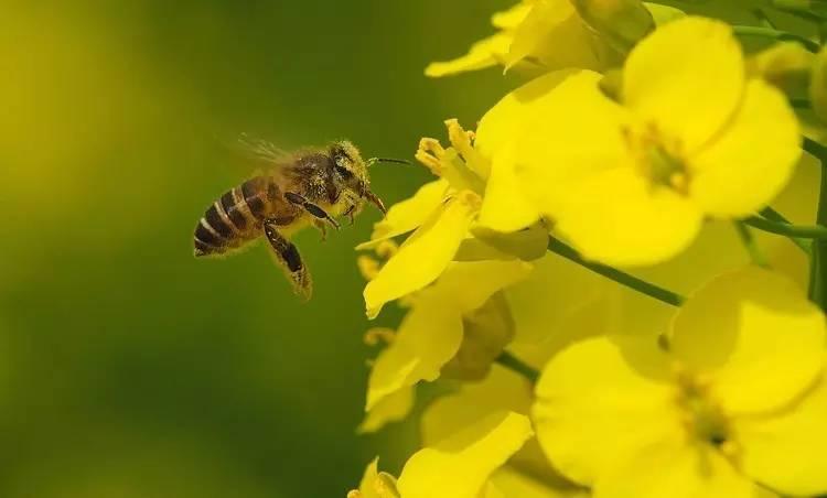 每酿1瓶好蜜=蜜蜂需要百万次飞行