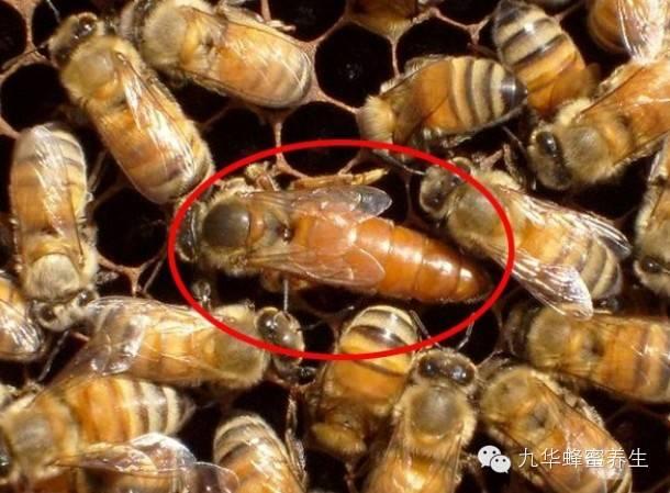 苦瓜 壁蜂分布 生姜减肥法 延缓衰老 蜂蜜养殖场