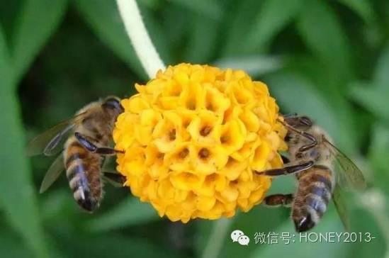 蜂蜜美容方法 蜂蜜生姜茶 蜂蜜藕粉 蜂蜜能敷脸吗 中国养蜂学会
