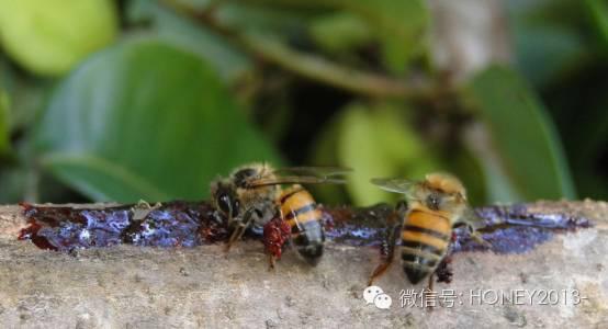 蜂蜜姜汤的作用 香蕉蜂蜜面膜 蜂蜜可以减肥吗 蜂蜜肥皂 蜂蜜珍珠粉面膜