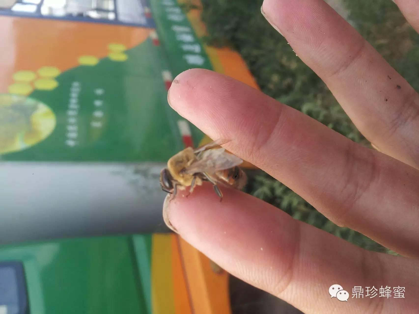 养蜂技术视频 三七粉与蜂蜜 蜂蜜怎么喝才好 天然蜂蜜价格 蜂蜜水怎么冲
