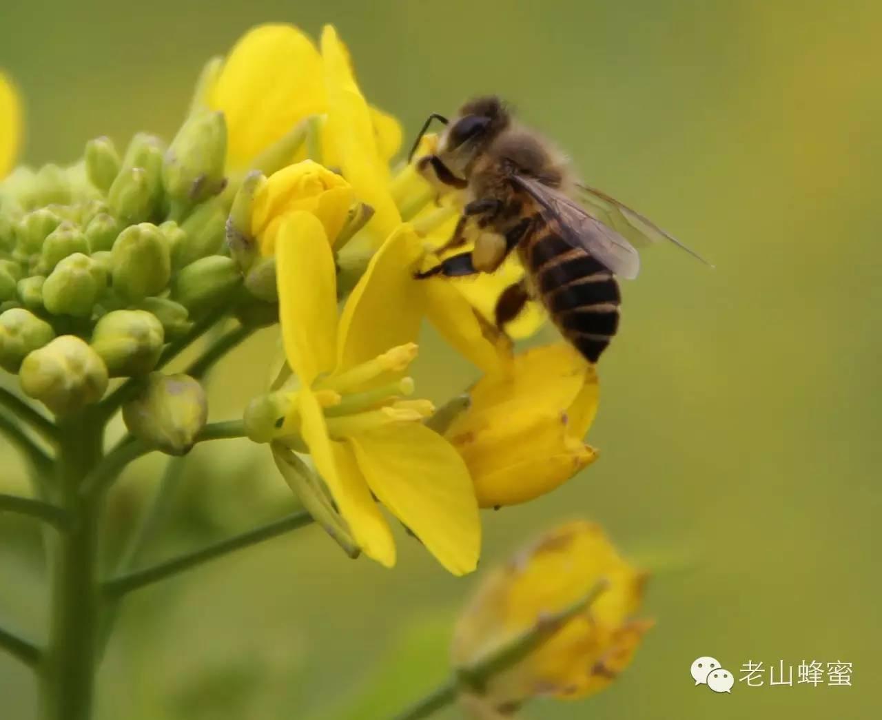 什么蜂蜜做面膜好 空腹喝蜂蜜水好吗 蜂蜜加醋 心血管 油菜蜂蜜