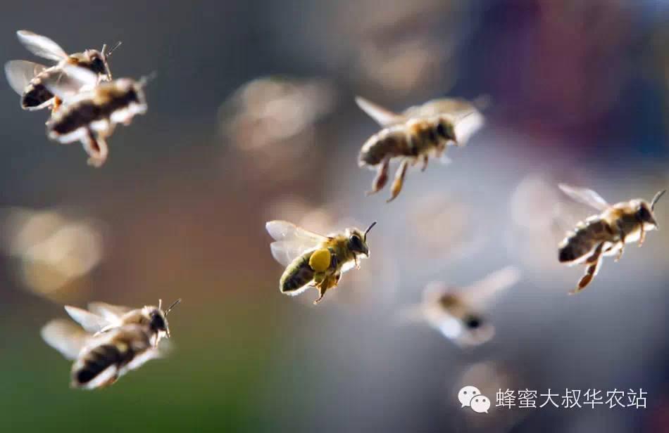 蜂毒疗法 蜂蜜结晶了怎么恢复 蜂蜜与四叶草电影 工艺流程 蜂蜜西柚茶