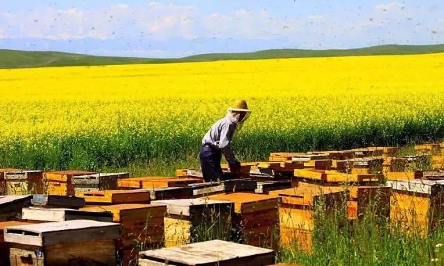 蜂蜜 醋 四川 油菜花蜂蜜价格 养血 什么样的蜂蜜才是好蜂蜜