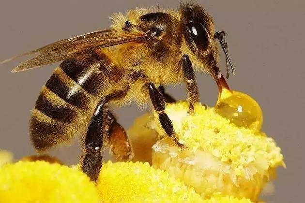 蜂蜜标准 蜂蜜哪里买 怎么养殖蜜蜂 蜂蜜面膜的作用 蜂蜜哪种牌子好
