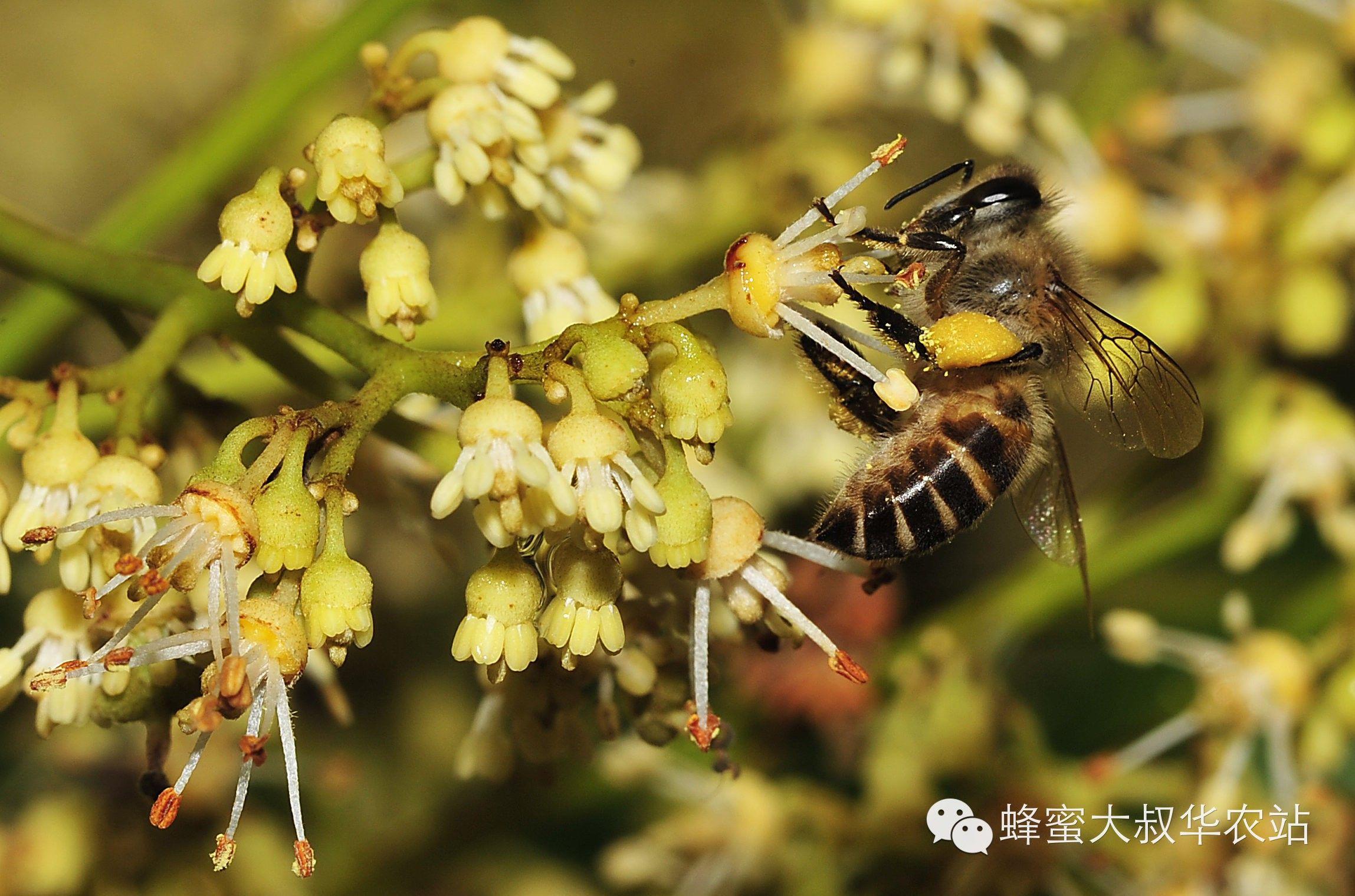 好蜂蜜多少钱一斤 枸杞蜂蜜价格 汪氏蜂蜜加盟 蜂蜡是什么 油菜蜂蜜