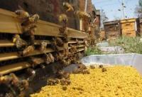 什么是蜂花粉?