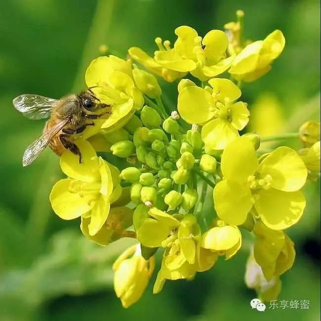 怎样喝蜂蜜 在哪买蜂蜜好 蜂蜜养生 孕妇喝蜂蜜水好吗 蜂蜜优劣